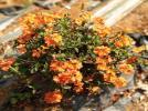 Crossandra variety: Arka Chenna
